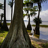Cypress Trees - Lake Harris