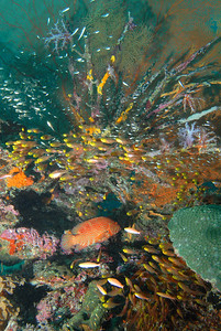 © Joseph Dougherty. All rights reserved.   Cephalopholis miniata Red Coral Grouper  Coral grouper swimming beneath school of Golden Sweepers, amid colorful seafans and corals.