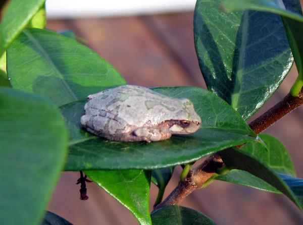 IMG_2077 frog