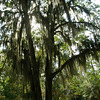 Oak tree with Spanish Moss, Poinsett State Park, SC