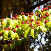 Dogwood tree with seed pods.  Poinsett State Park, South Carolina
