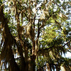 Spanish moss in oak tree, Poinsett State Park, SC