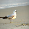 Seagull and Atlantic Ocean at Kure Beach, near Wilmington