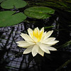Water lily at NC Acquarium at Fort Fisher.