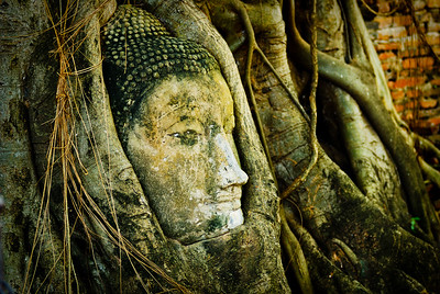 Buddha head carved in Bodhi tree, Ayuthaya (Thailand)