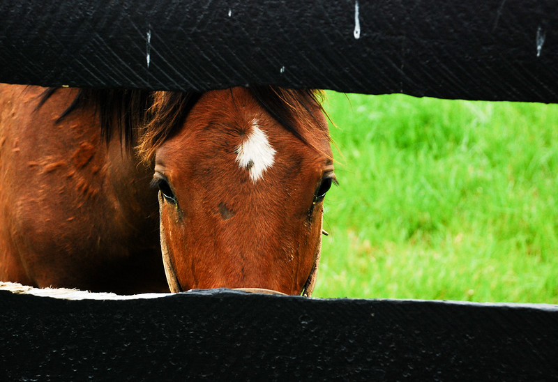 Horse and black fence, Kentucky (USA)