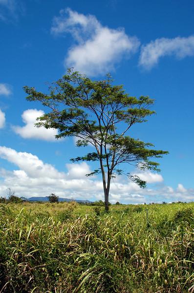 Kauai Tree #2