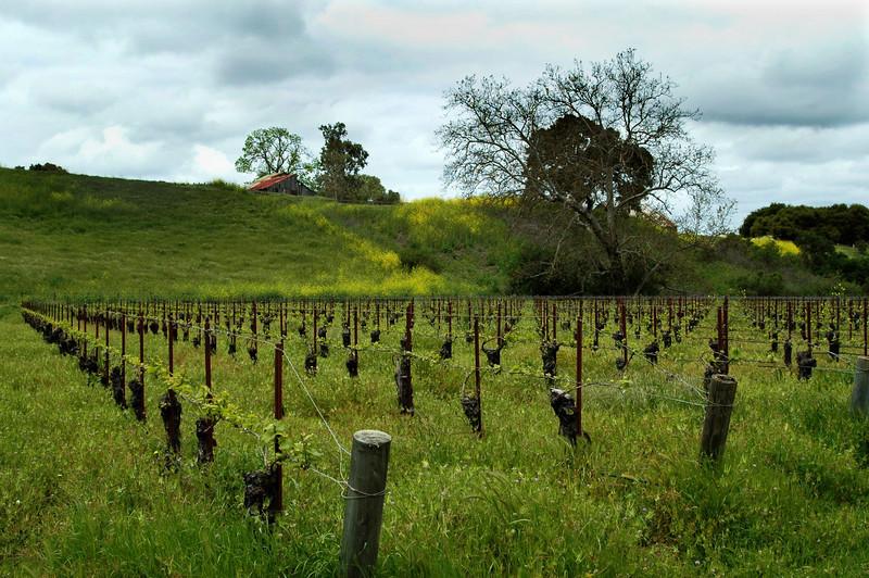 Vino<br /> Sanford Vinyard, Buelton, California