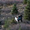 Denali Barren-ground Caribou (Rangifer tarandus)