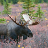 Bull moose in Denali NP - autumn