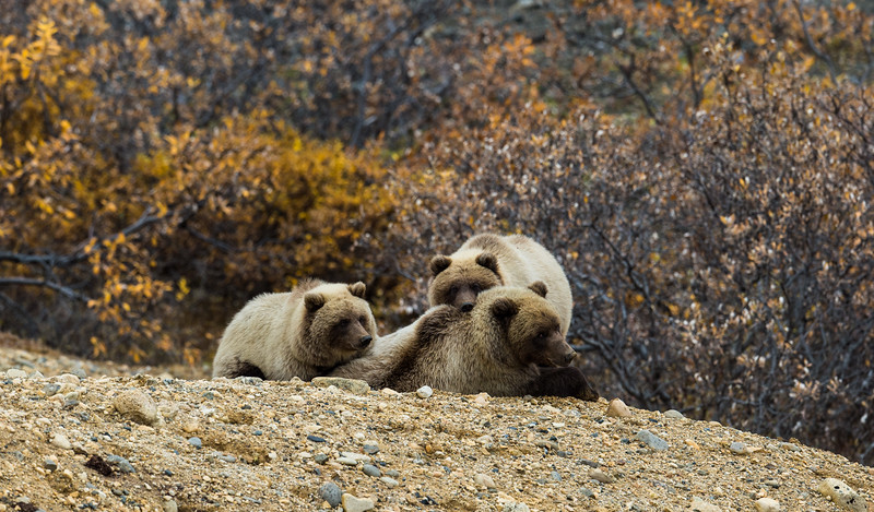 Mother Grizzly and cubs