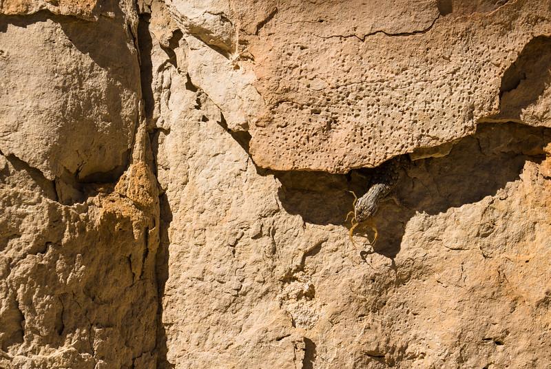Lizard with scorpion