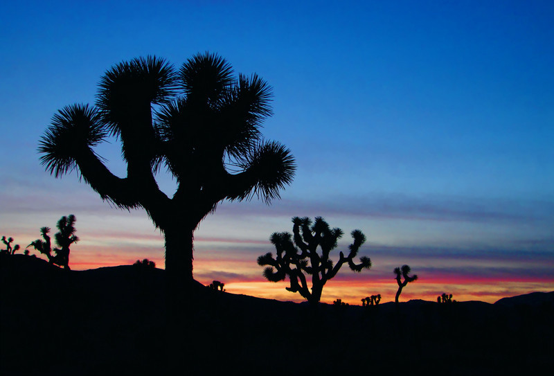 Joshua Trees silhouetted against a setting sun, Joshua Tree National Park, California