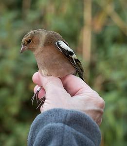 grumpy chaffinch