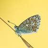 Esparsetten-Blaeuling (Polyommatus thersites)