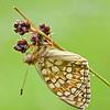 Stiefmütterchen - Perlmutterfalter (Argynnis niobe)