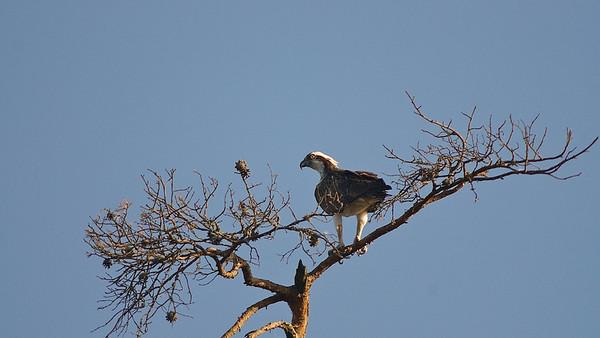 Fischadler (Pandion haliaetus)  Osprey  mehr dazu im Blog: Reiseziele in Schweden