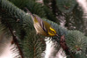 Townsends Warbler, CA