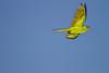 Green Parakeet at Macallen TX