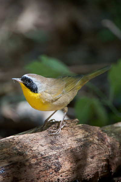 Common Yellowthroat, Cape May, NJ