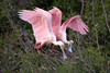 Roseate Spoonbills at rookery, High Island, TX