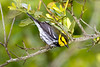 Golden-cheeked Warbler at South Padre Island -first documented record for the county