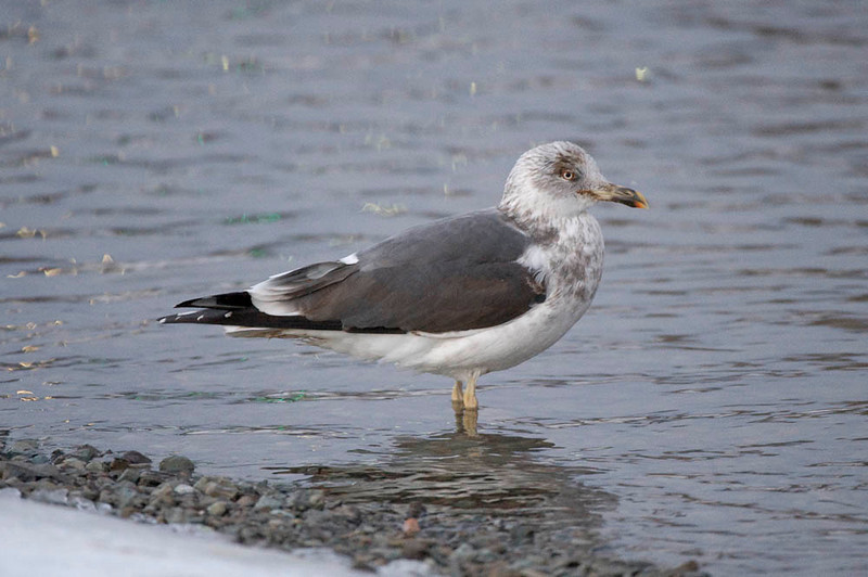 Lesser Black Backed gull...again, great looks!  While Niagara Falls has lots of great gulls, too, you rarely get these kinds of close encounters.