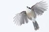Gray jay flyby