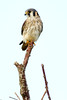 One of many American Kestrels Lucky Hammock Everglades