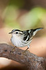 Black-and-white Warbler, Cape May, NJ