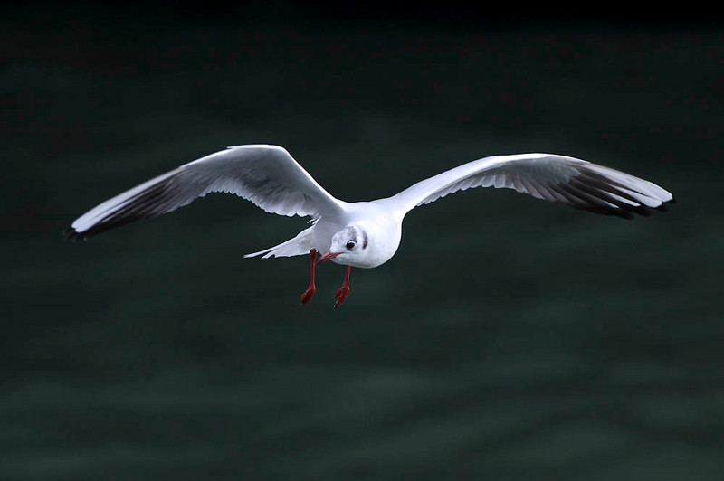 Another Black Headed Gull...flying