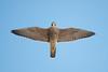 Peregrine Falcon, Cape May, NJ