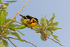 Blackburnian Warbler, High Island, TX