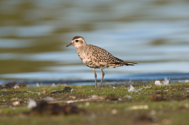 American Golden Plover, Jamaica Bay, NY