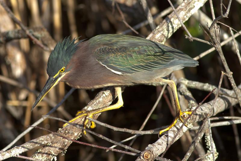 Green Heron at Anhinga Trail