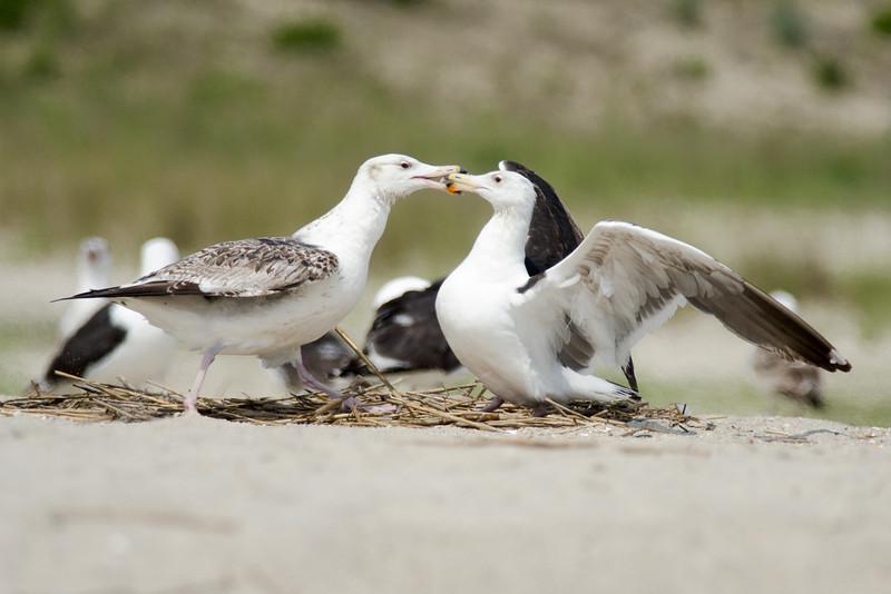 Great Black Backed Gulls, Cape May, NJ