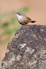 Canyon Wren, Oregon