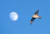 Ivory Gull, Cape May, NJ