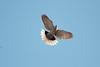 Eurasion Collared Dove displaying