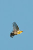 Cape May Warbler in Flight, Cape May, NJ