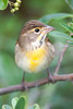Dickcissel, Cape May, NJ