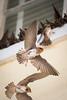 Cave Swallows at Congress Hall, Cape May, NJ