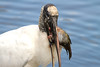 Wood Stork eating a fish at Green Cay Nature Center