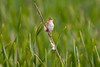 Marsh Wren in the rain