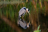 Preening Great Blue Heron at Green Cay Nature Center