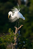 Great Egret at rookery, High Island, TX