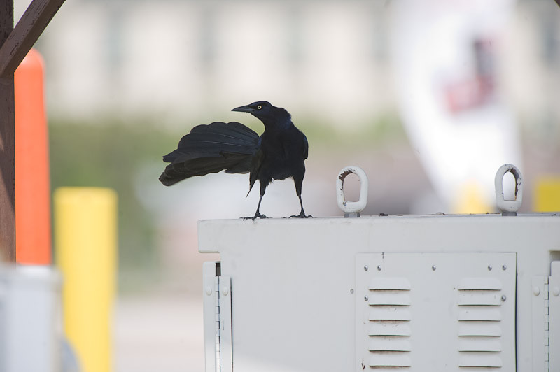 Great-tailed Grackle at rest stop in Texas