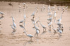 Egrets feeding on eels, Bunker Pond, Cape May, NJ