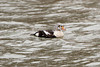 King Eider (Somateria spectabilis) at Lake Cayuga, hanging out in Stewart Park with the mallards.