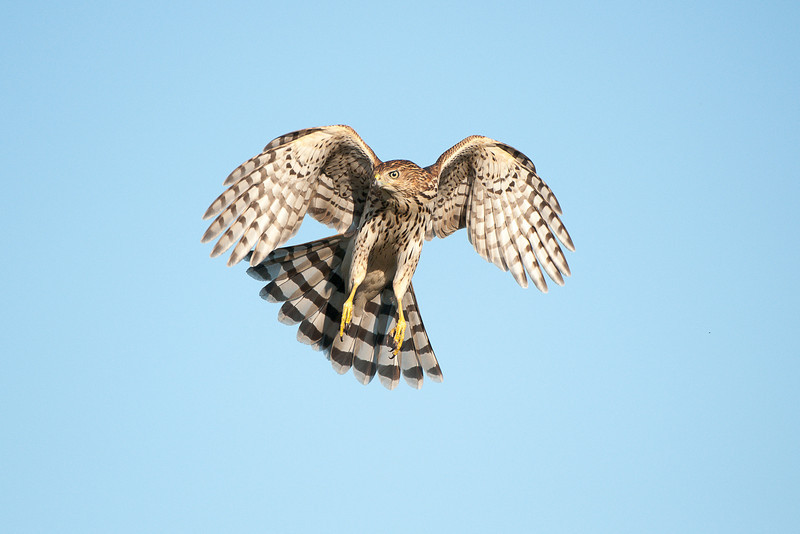 Coopers Hawk, Cape May, NJ